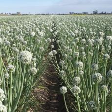 Cultivo de semilla de cebolla en plena floración